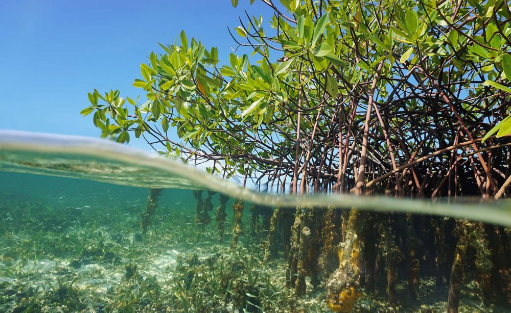Scientists Claim Extracts from Mangrove Trees Can Prevent Baldnes